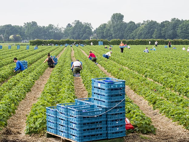 workers-picking-fruit.jpg